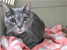 Gray Tabby KITTY!  Recommended For An Adult-Only Home With Experienced Cat Parents! KITTY WAS RETURNED TO THE SHELTER FOR LITTERBOX ISSUES - PLEASE GIVE THIS 7 YR OLD GIRL A CHANCE FOR A NEW HOME!
