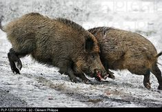 Two wild boars Sus scrofa fighting in the snow in winter, Bavarian Forest National Park Wild Boar Hunting, Pig Hunting, Ancient Egyptian Clothing, Bavarian Forest, Real Nature, Like Animals, Forest Animals, Animal Kingdom, National Parks
