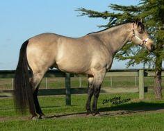 "Buckskin stallion ""Cal's Special Edition"""