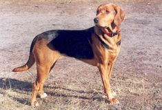 all dog facts research findings and behaviors of all breeds: POLISH HOUND Hound Dog Breeds, Dog Breeds List, English Coonhound, Dog List, Dog Facts, Purebred Dogs, The Fox And The Hound, Hunting Dogs, Dogs Of The World