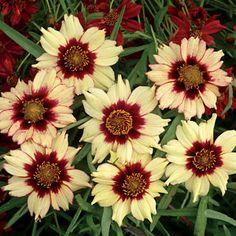 Autumn Blush Coreopsis Wayside Gardens