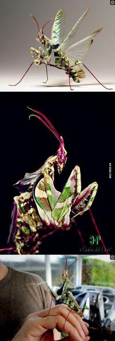 Giant Devils Flower Mantis- equatorial Africa
