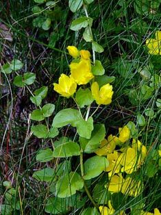 Suikeroalpi, Lysimachia nummularia - Kukkakasvit - LuontoPortti