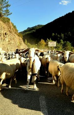 Trashumancia en #Navarra de #Garde a #Bardenas