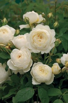 'Claire Austin' |  Shrub.  English Rose Collection. Bred by David C. H. Austin (United Kingdom, 2007)  | © Calif_Sue