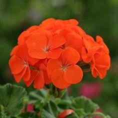 Orange Geranium | Other Geranium varieties