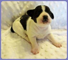 Puppy Love, photo by Got Rat Terriers!