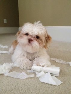 In trouble again... This is so my Shih-Tzu Cooper! A toilet paper fetish ! Lol