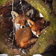 Animali #volpe#teneri#natura