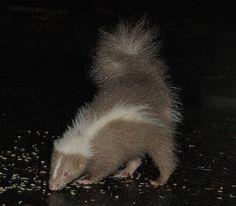 Brown Skunk Baby Animals, Cute Animals, Wild Animals, Beautiful Creatures, Animals Beautiful, Striped Skunk, Skunks, Chinchillas, Raccoons