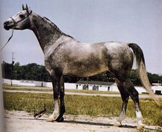 DESERT KOJAK (Gay Apollo x Bar Cita, by *Faraon+) 1974 grey stallion; sired 60 registered purebreds