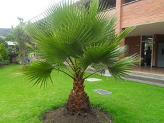 Trachycarpus Fortunei 10 Seeds, Outdoor Perennial plant palm tree seeds for Home Garden Plant tropical ornamental Tree seed Perennial Plants, Plants, Tree Seeds, Tropical Garden, Landscape Design, Washingtonia Robusta, Palm Trees Landscaping, Garden Planning, Tropical Landscaping