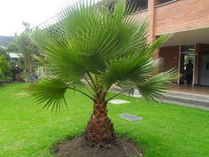 20 Washingtonia Filifera Seeds, Rare Mexican Fan Palm Seeds #MexicanFanWashingtoniaPalm