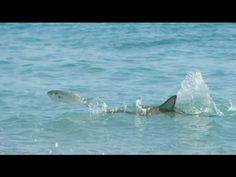 TV BREAKING NEWS Нашестя акул на узбережжі Флориди - http://tvnews.me/%d0%bd%d0%b0%d1%88%d0%b5%d1%81%d1%82%d1%8f-%d0%b0%d0%ba%d1%83%d0%bb-%d0%bd%d0%b0-%d1%83%d0%b7%d0%b1%d0%b5%d1%80%d0%b5%d0%b6%d0%b6%d1%96-%d1%84%d0%bb%d0%be%d1%80%d0%b8%d0%b4%d0%b8/