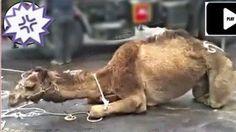 Enough of using animals for any type of shows. Han llegado a mi poder fotografías de las pésimas condiciones en las que fueron transportados los camellos utilizados para la Cabalgata de