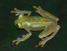 Hyalinobatrachium valerioi, Credit: Instituto Nacional de Biodiversidad Costa Rica (INBio), http://eol.org/data_objects/13116821