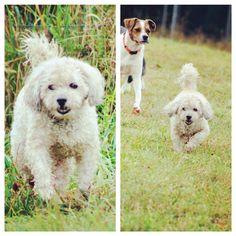 Sir Hiro Snugglepuff roaming around the fields with his cute smile . #evasplaypupsPA #dogs #dogcamp #smilingdogs #happytails #playtime #handsomeman #dogsinnature #runfree #itsadogslife #brooklyndogs #badassbk #adoptdontshop #rescuedogs #seniordog #seniordogsrule #poodlesofinstagram #dogsofinstagram #instapup #petportraits #doggyvacays #doggievacays #dogboarding #pleasantmount #northeasternpa #PA #pennsylvania