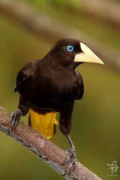 Crested Oropendola (Psarocolius decumanus) South America, from Panama and Colombia south to Argentina and Trinadad