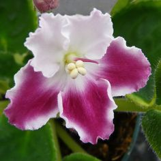 Flower-detail of African Violet: Saintpaulia ionantha [Family: Gesneriaceae] - Flickr - Photo Sharing!