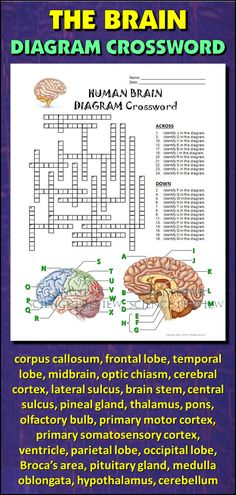 Help students learn and remember the parts of the brain using this diagram crossword.  BONUS ACTIVITY:  When they've completed the crossword, get them to cut out the diagram, glue it on a separate page and label the parts of the diagram.  This activity would work wonderfully within an interactive notebook as well. It can function as an assessment of learning, or it can serve as another reinforcement activity. Afterwards, they have a handy labeled diagram to help them review.