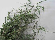 Voila venu le temps de recolter le Desmodium. Mes tisanes de santé Le Desmodium« les Amoureux »Desmdium adscandens Cette petite plante mal aimée est un trésor de santé : elle régénère...