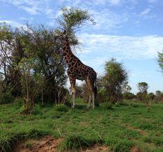 #Giraffe in #Paara, #Kabalega Nature Reserve, #Gulu, #Uganda