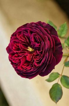The prince (David Austen Roses)