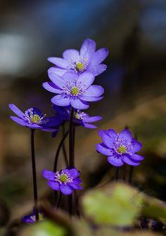 Small Blue Family Canvas Print / Canvas Art by Photo by Per Ottar Walderhaug Amazing Flowers, Pretty Flowers, Purple Flowers, Wild Flowers, My Flower, Flower Art, Blossom Garden, Beautiful Flowers Wallpapers, Miniature Plants