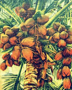 COCONUTS 16x20 large art  botanical photo print tropical deco vintage decor 1930s green brown yellow cream Florida beach house wall art