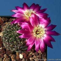 Immagine di http://www.llifle.com/photos/Sulcorebutia_pulchra_10891_l.jpg.