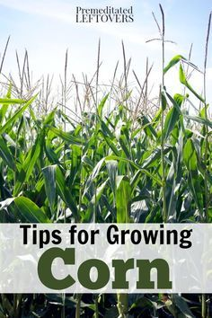 How to Grow Corn in your garden- Tips for Growing Corn, including how to plant corn seeds, how to care for corn seedlings, and how to harvest corn.