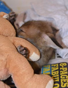 After being rescued, this baby fox found his best friend—a stuffed bunny #fox #babyfox #animalrescue #cute