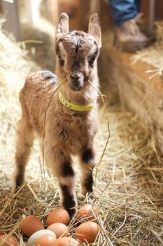 """A Young """"Kid"""" Goat."""