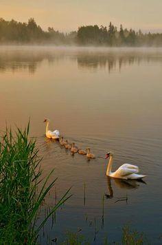 Swan family Lithuania, by Kazys Zasytis