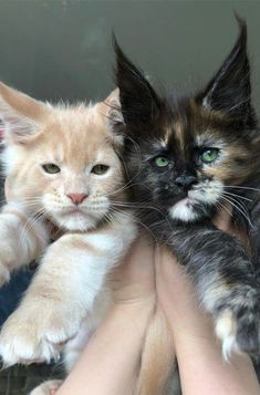 How to tell if a kitten is a maine coon kitty baby мейн кун, Pretty Cats, Beautiful Cats, Animals Beautiful, Beautiful Babies, Kittens Cutest, Cute Cats, Funny Cats, Big Cats, Panda Kawaii