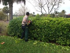 Pruning a hedge #mainscape