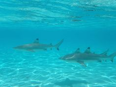Swimming with sharks in Moorea Tahiti by Thomas Duffy