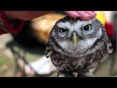 Cute Owls - unglaublich niedliche Eulen.  Macht gute Laune