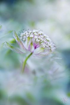 Dream by Jacky Parker Flower Images, Flower Pictures, Bokeh Photography, Flower Photography, Astrantia, Macro Flower, Happy Paintings, Little Flowers, Tropical Flowers