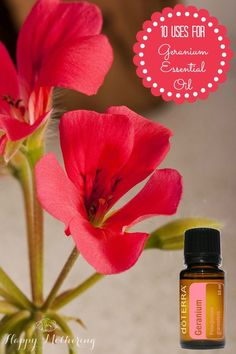 Geranium essential oil has many uses for both health and beauty issues, making it an essential oil you want to have on hand. Learn about this floral oil. Geranium Essential Oil, Doterra Essential Oils, Natural Essential Oils, Young Living Essential Oils, Natural Oils, Natural Health, Going Natural, Natural Cures, Doterra Geranium
