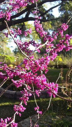 I love my yard :) Redbird are blooming.