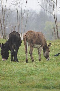 donkeys …