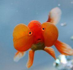Bubble eye Goldfish.