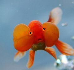 Bubble eye Goldfish.