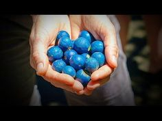 Fruit from the Blue Quandong Tree Fruits Name List, Fruit List, Rainforest Trees, Fruit Names, Blue Food, Plant Art, Desert Plants, All Plants, Plant Design