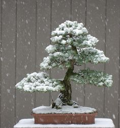 White Pine in the Snow by OpenEye