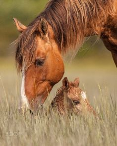 """"""" Momma's Here. As the wild mare caresses her newborn foal on the outer banks. by Sandy Brooks https://500px.com """""""