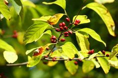 Lindera benzoin Spicebush from Forrest Keeling