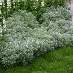 Artemisia schmidtiana 'Nana Attraction'  - Silver Mound