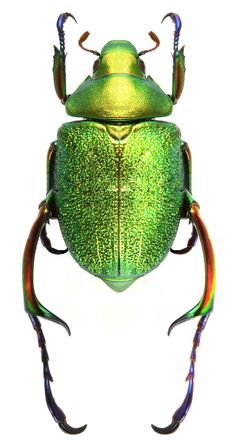 Chrysophora chrysochlora - World of Animals Beetle Insect, Beetle Bug, Cool Insects, Bugs And Insects, Beautiful Creatures, Animals Beautiful, Animals And Pets, Cute Animals, Green Beetle